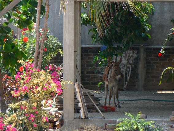 burro en maruata