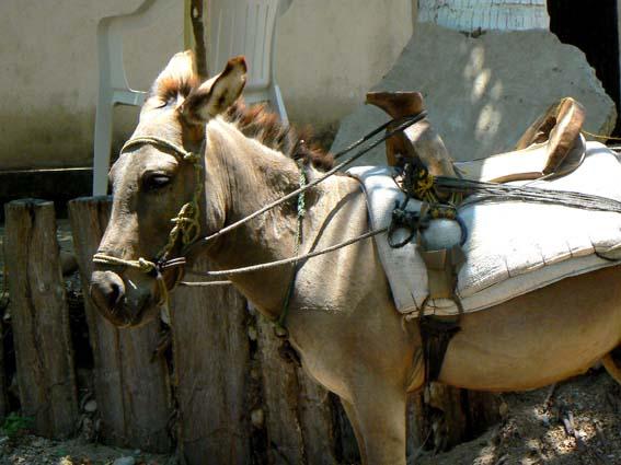 burro maruatense